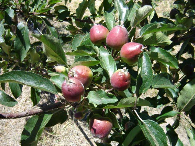 hail-damaged-fruit