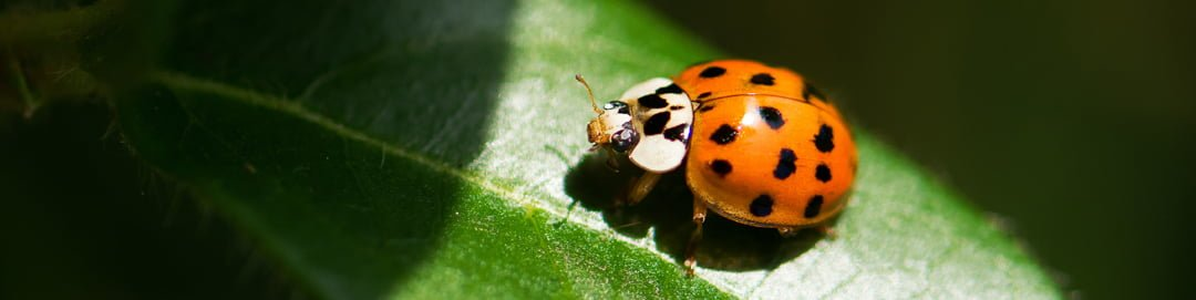 ladybird-on-leaf