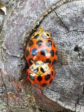 ladybirds in fruit trees