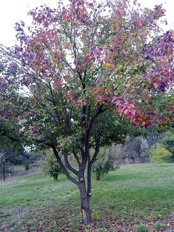 A multigraft plum tree: the different varieties are showing their autumn colours at different times, making a beautiful display in the garden