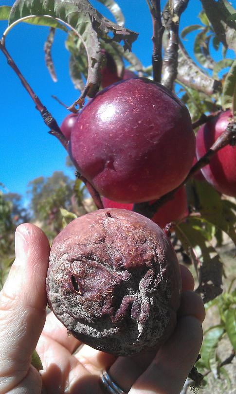 Brown rot in nectarines