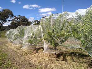 Excluding the birds from your fruit trees is the only way to make sure you'll get some fruit!