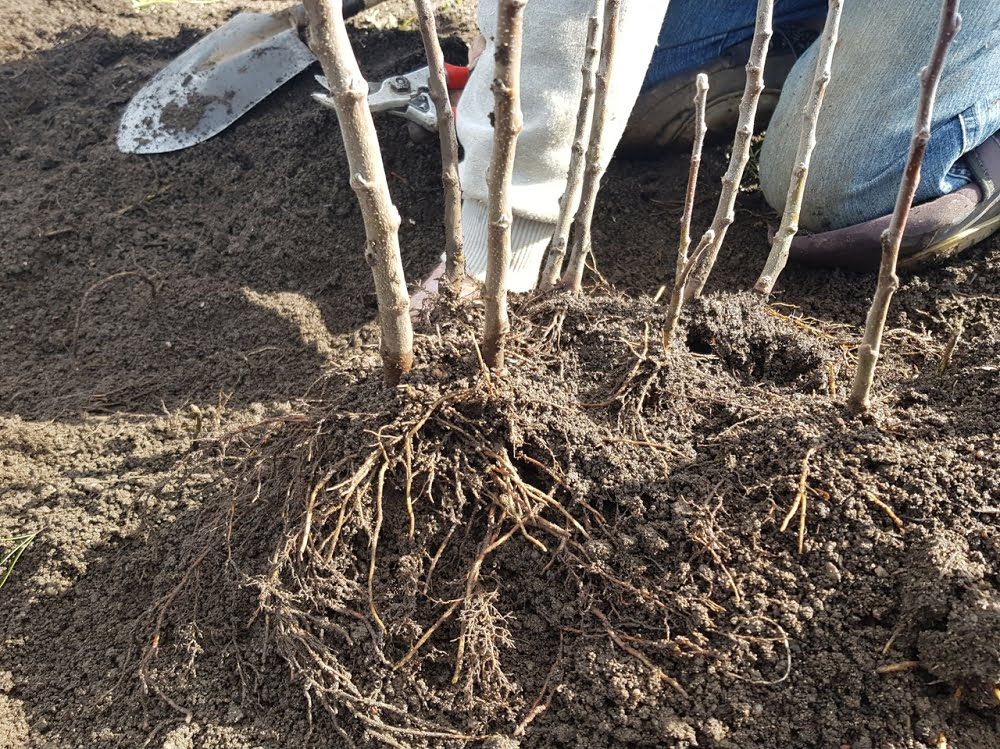 Apple rootstocks with lots of roots being heeled in
