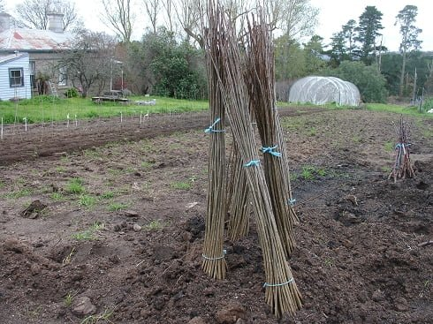 """Bunches of trees that have been """"heeled in"""" until they can be planted"""