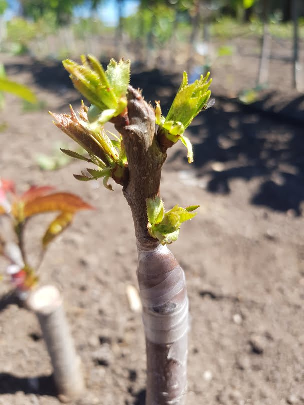 A successful grafted cherry tree in the nursery