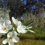 packham-pear-blossom-450x253
