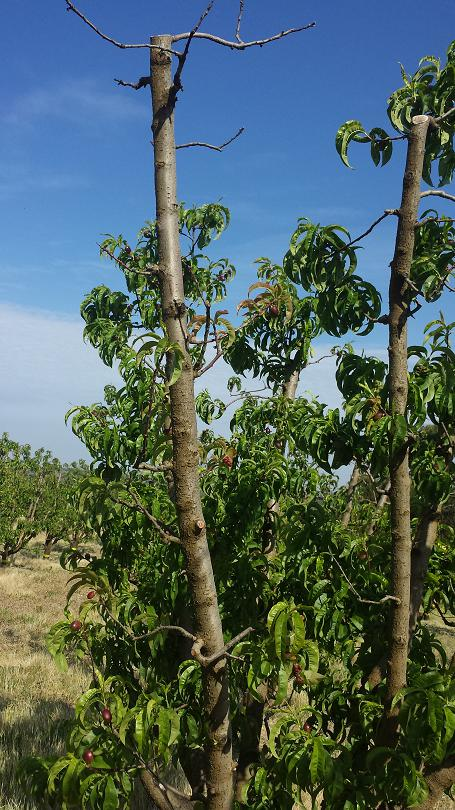 A peach tree with dieback from Phytophthora