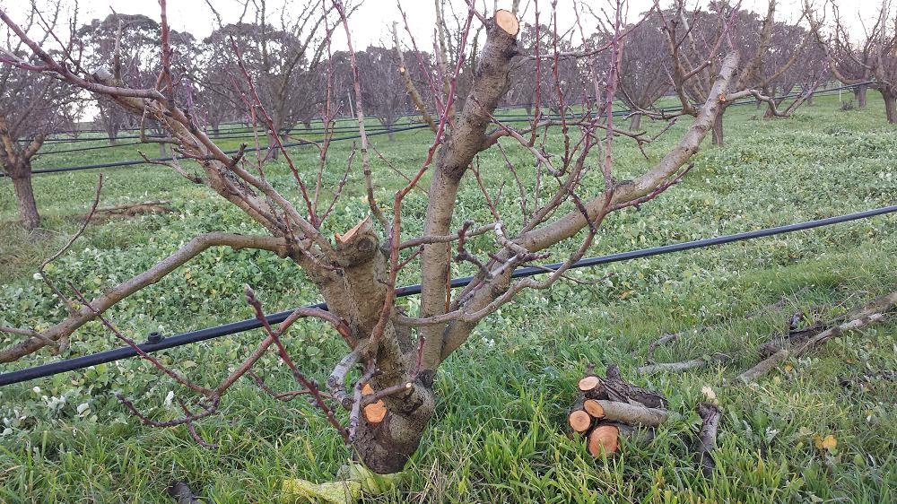 A peach tree showing lots of new growth as it recovers from Phythopthora