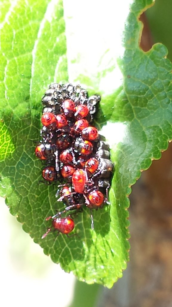 Predatory shield bug eggs and nymphs