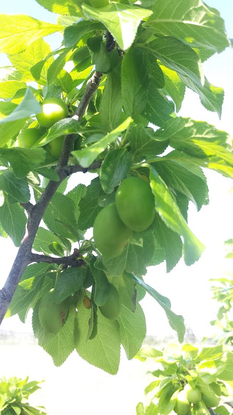 A nice crop of President plums on trees that were pruned in winter