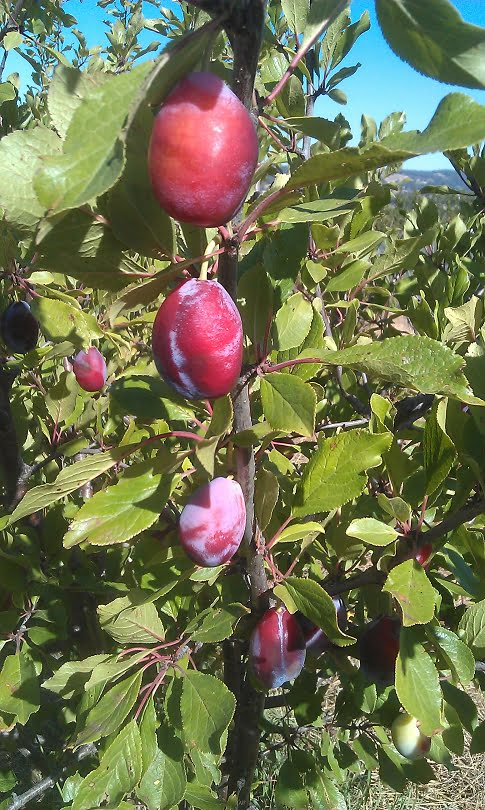 Prune d'agen plums - perfect for drying