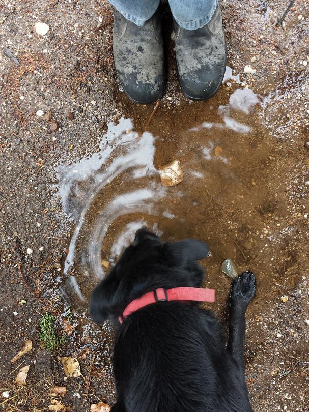 Poppy lapping up a puddle