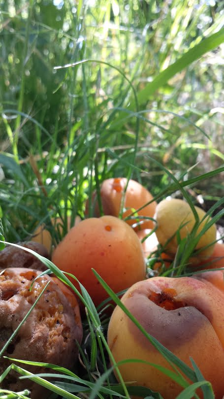 Apricots rotting on the ground under the tree