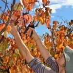 ruth-pruning-2-415x628