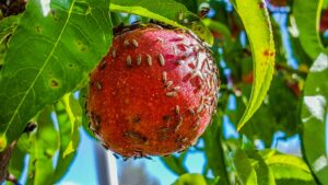 A red nectarine covered with small bugs
