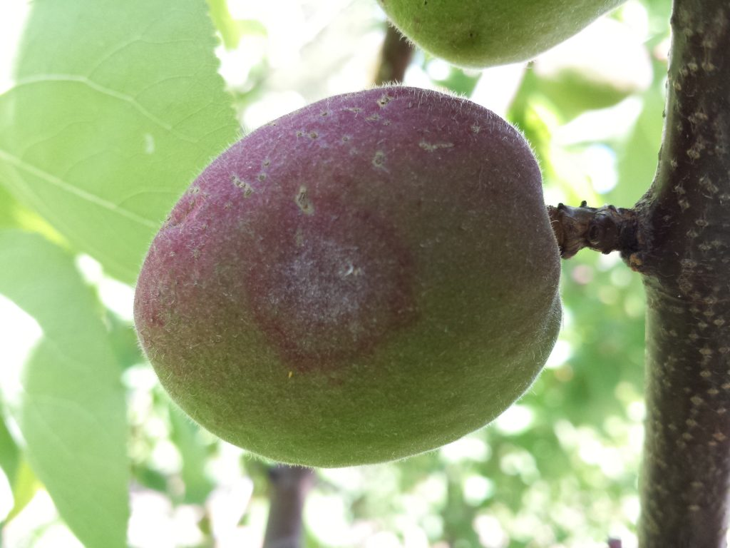 A fungal disease outbreak on an apricot