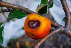 Sunburned apple