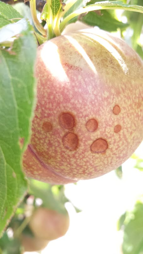 Spots on a plum that are typical of sunburn browning