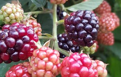 How to grow organic berries