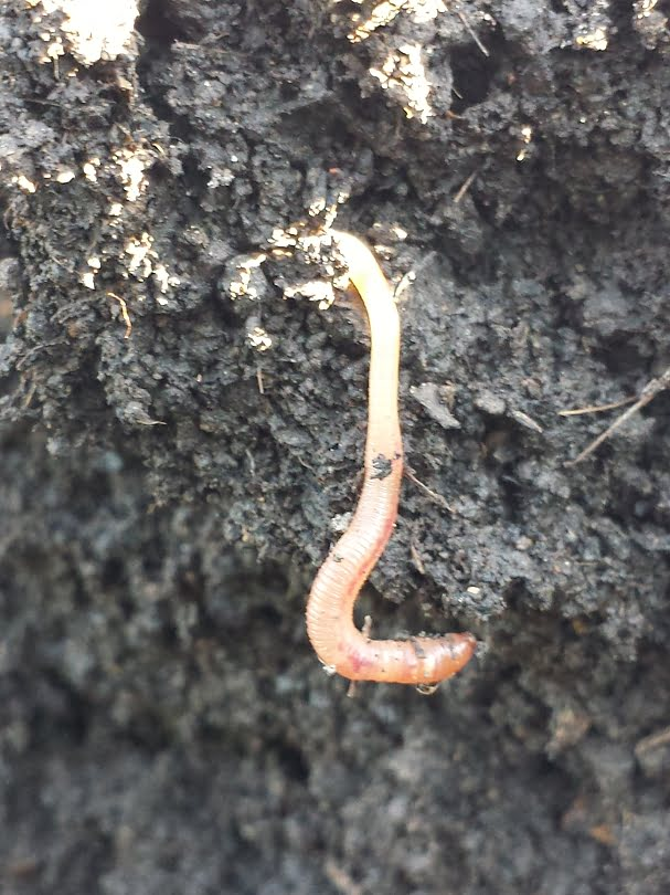 A miracle-worker worm in the compost