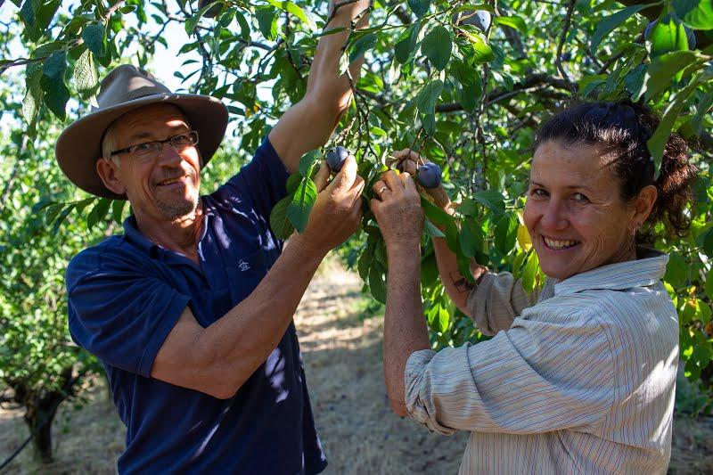 hugh & Katie picking organic fruit