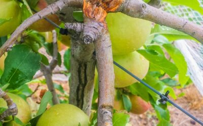 The best way to mend broken branches in fruit trees