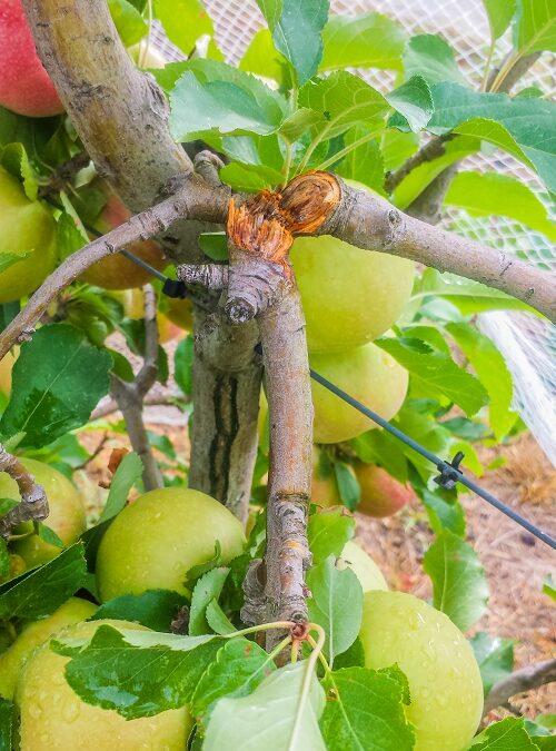 broken branches in apple tree