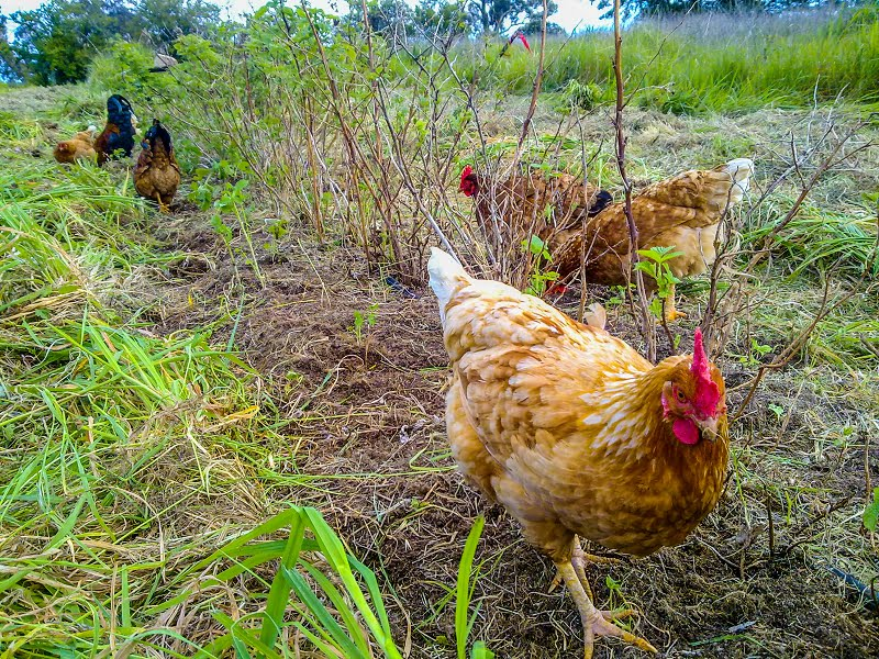 Busy chickens on bug-eating duty on the farm