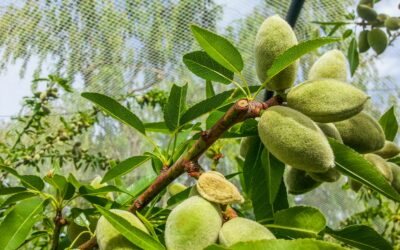 When should you pick your almonds?