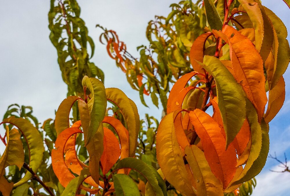 Green orange and yellow leaves on a peach tree in autumn