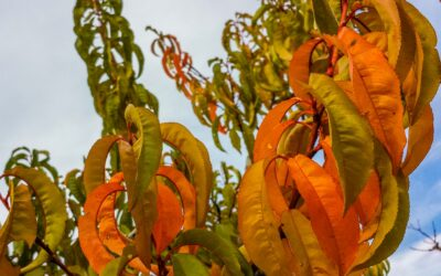 Natural fertility for fruit trees in Autumn