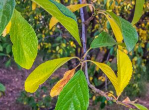 A plum tree with green and yellow leaves