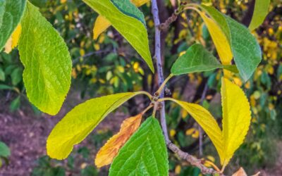Yellow leaves on your fruit tree – the four main causes