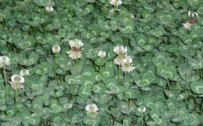 How to plant a green manure crop