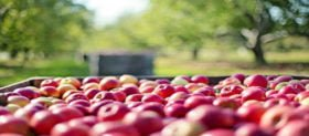 When should I pick my apples?