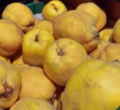 When to pick quinces