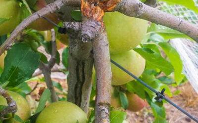 How to repair broken fruit trees