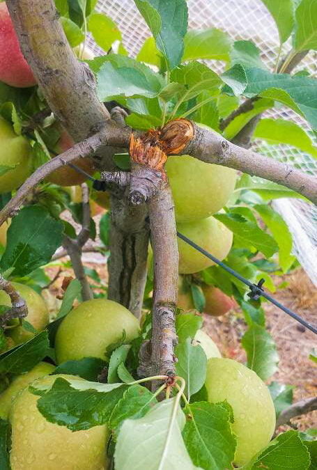 How to repair broken fruit trees