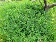 Choose your understorey plants (green manure)