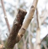 Prune diseased wood while thinning