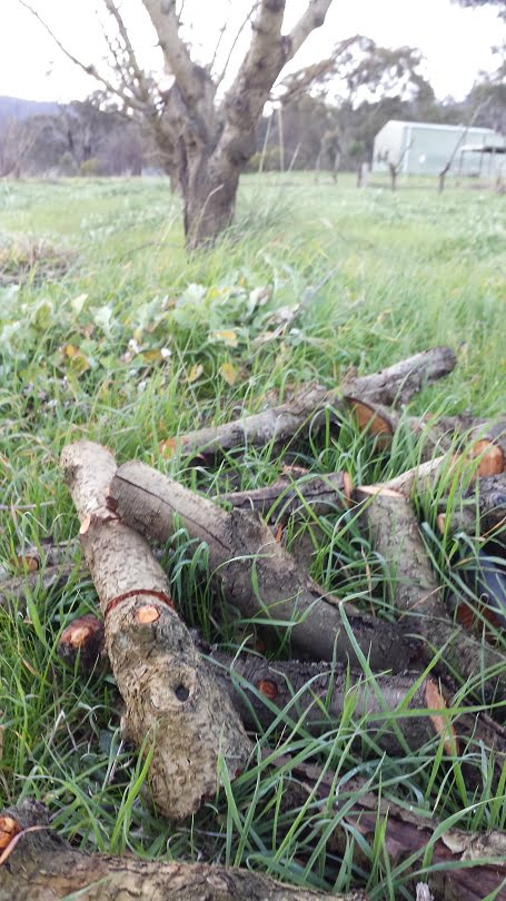 Prunings of dead limbs cut into firewood lengths