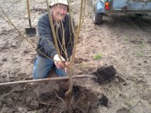 Planting your fruit trees well
