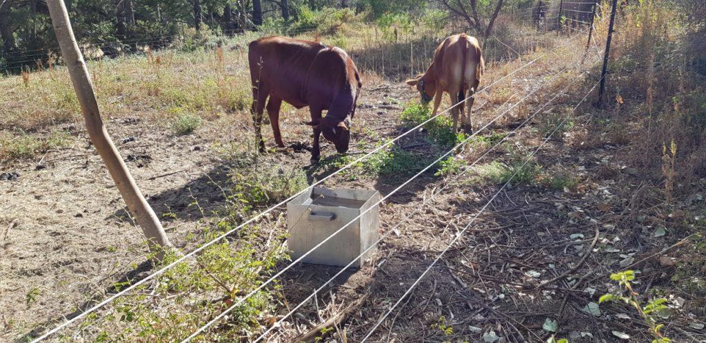 Calves eating fruit tree prunings