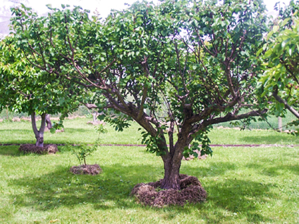 A very large apricot tree