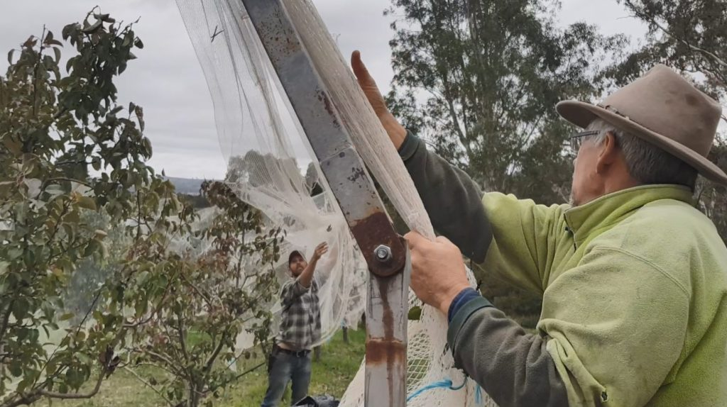 Ant and Hugh taking nets off the pear trees this year