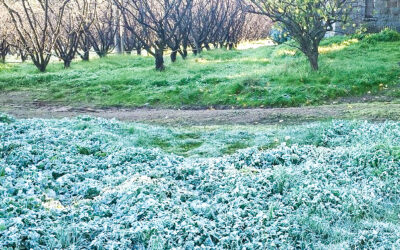 Managing your fruit trees and frost