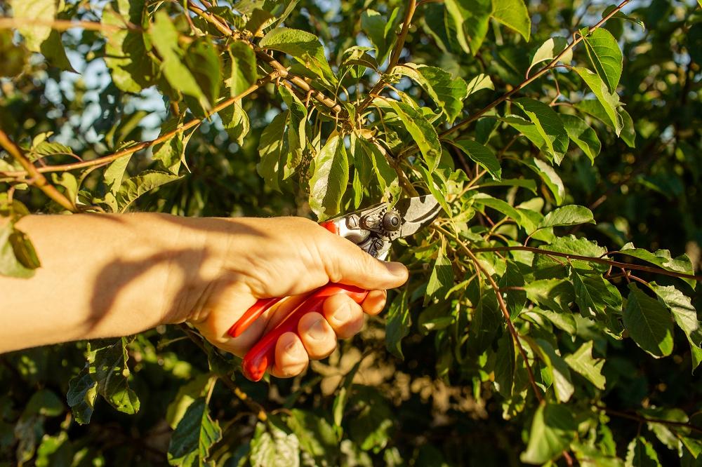 Summer pruning a plum tree