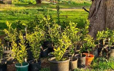 How to buy a good fruit tree