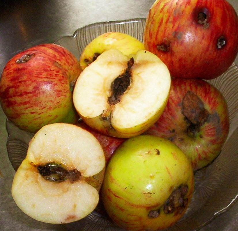 Gravenstein apples riddled with Codling moth