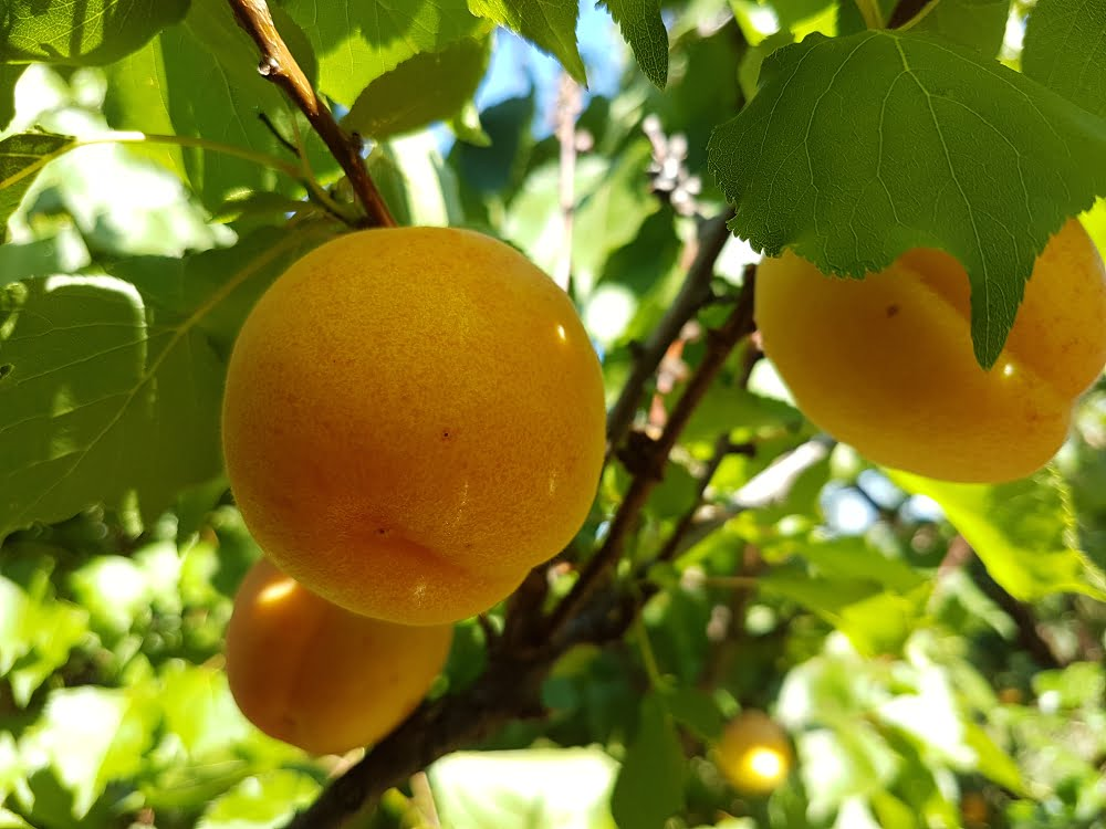 Castlebrite apricot tree with ripe apricots
